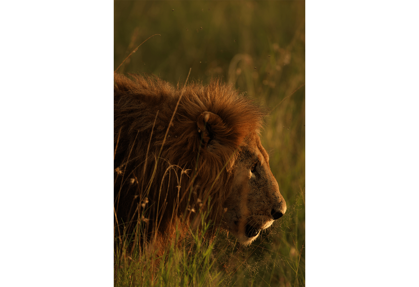 Photo of lion taken with EF 400mm f/2.8L IS III USM Lens