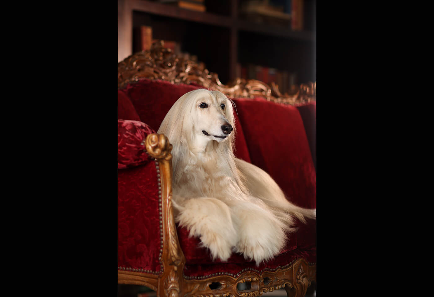 Image of Afghan Hound taken with EOS 850D