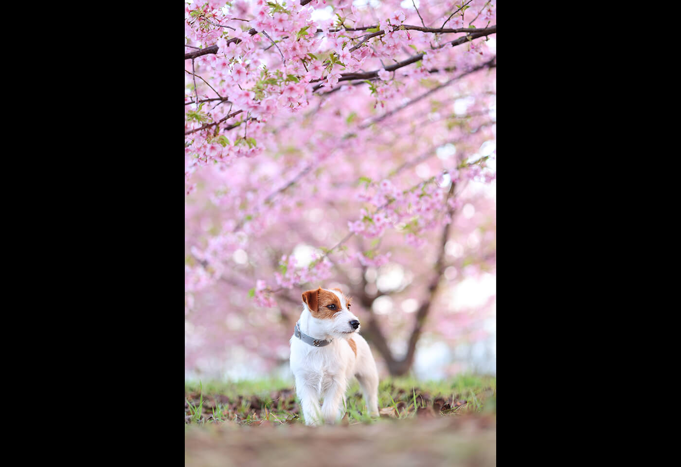 Image of a dog and pink tree taken using RF 85mm f/2 Macro IS STM