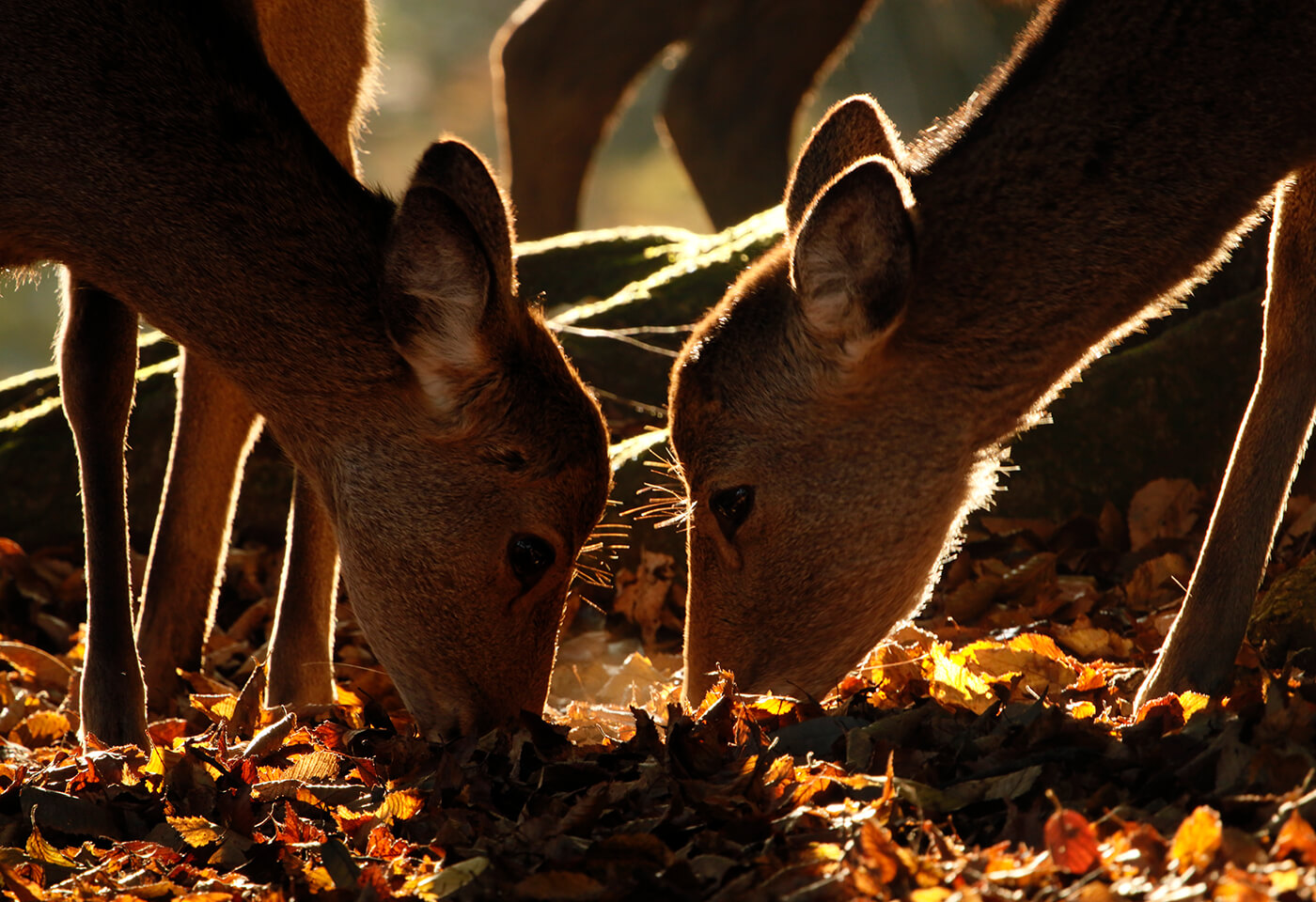 Image of deers eating