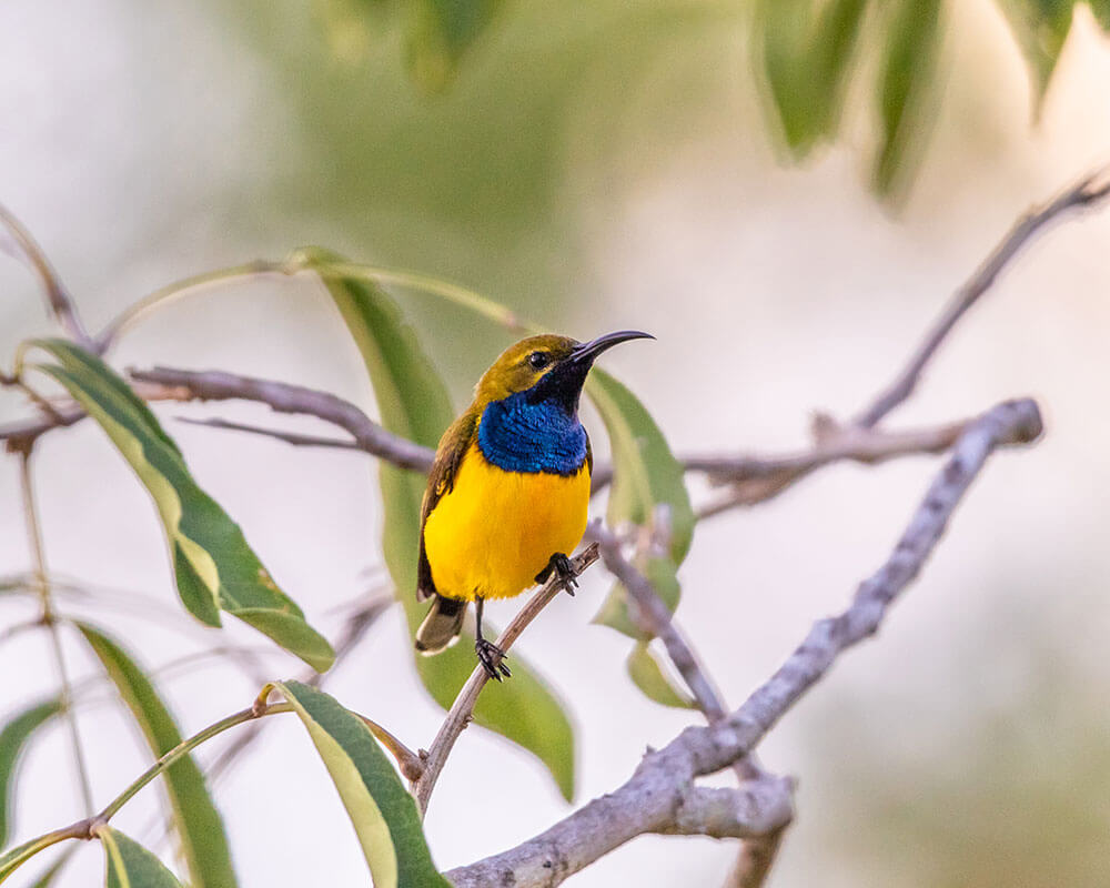 Image of a Olive-backed Sunbird at Bamaga
