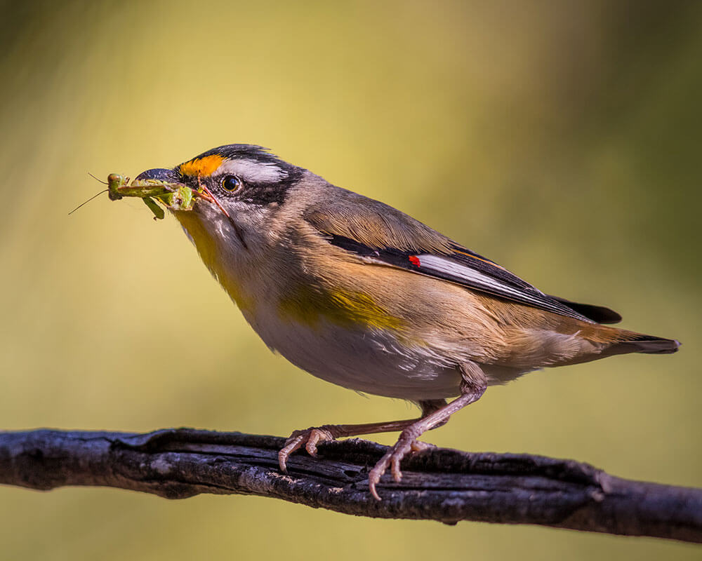 Image of a Striated Pardalote at Hillards Creek, Birkdale