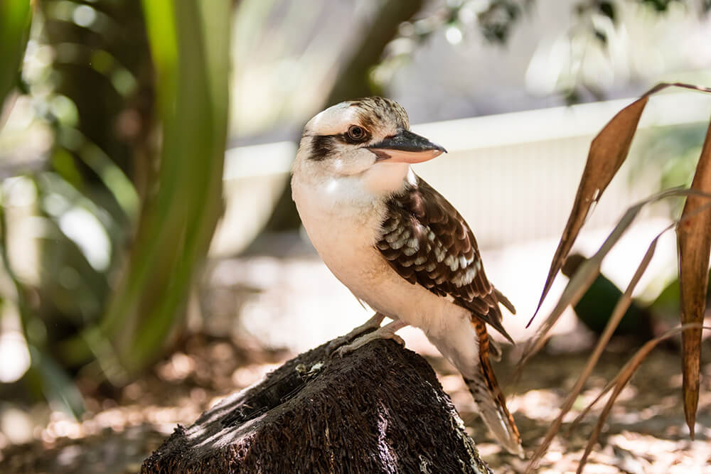 Image of a Kookaburra facing left