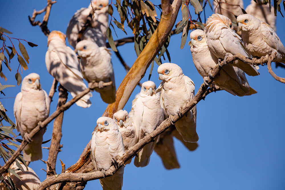 Image of Little Corella's at Birdsville
