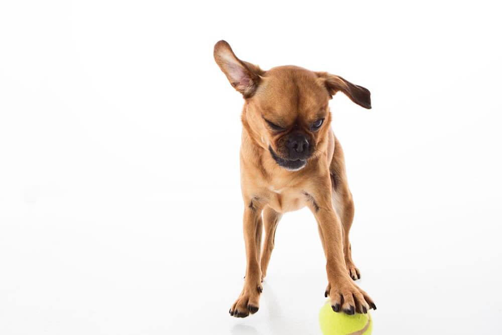 Chihuahua playing with tennis ball
