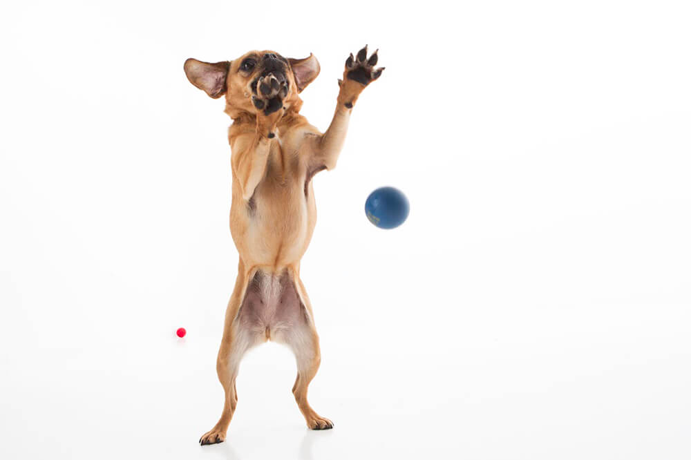 Brown chihuahua catching balls