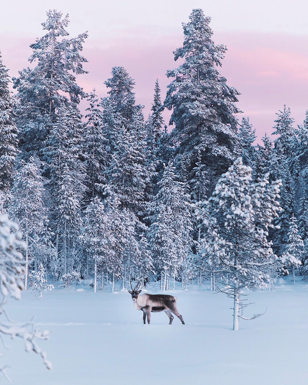 Photo of a reindeer in the distance. Shot by Elaine Li