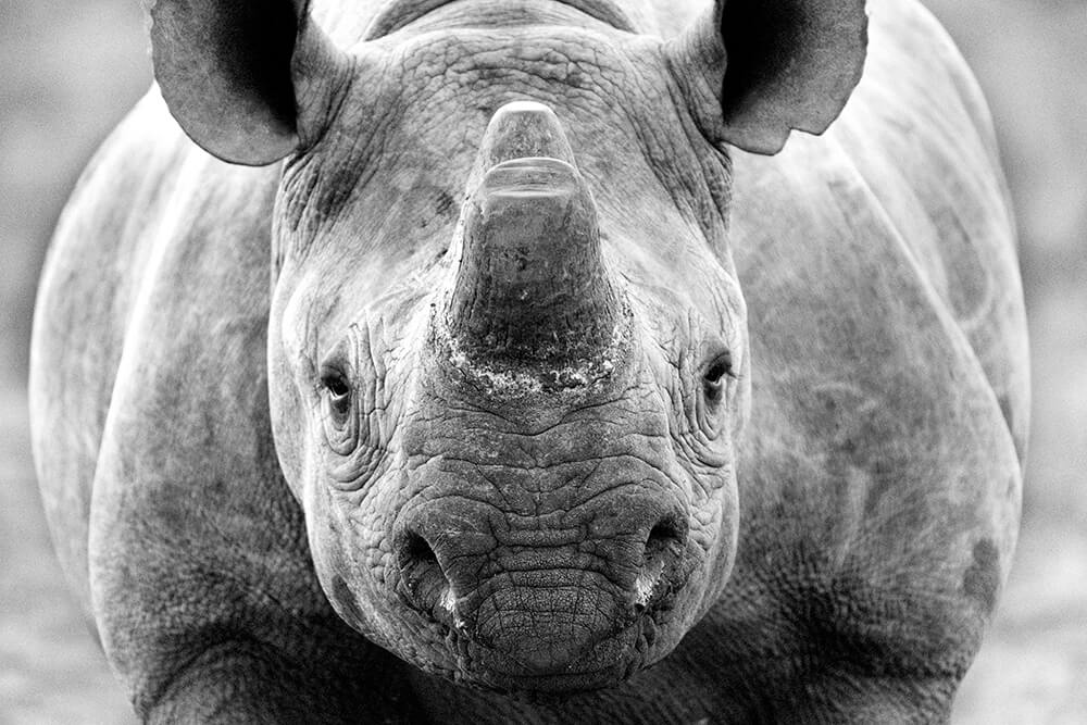 An image of a Rhinoceros.