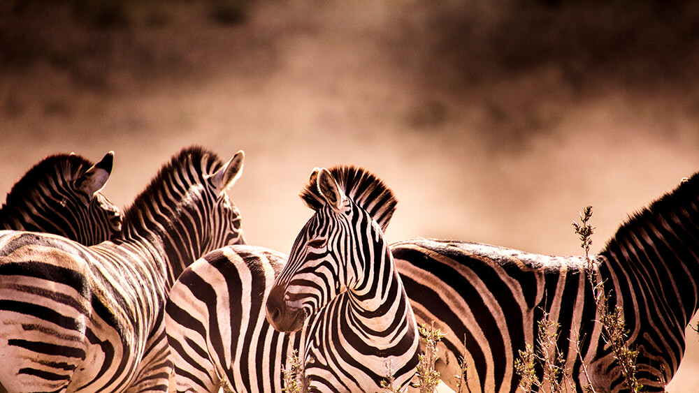An image of Zebras