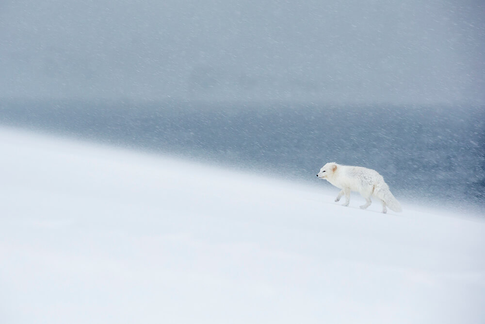 Image of white mammal in snow