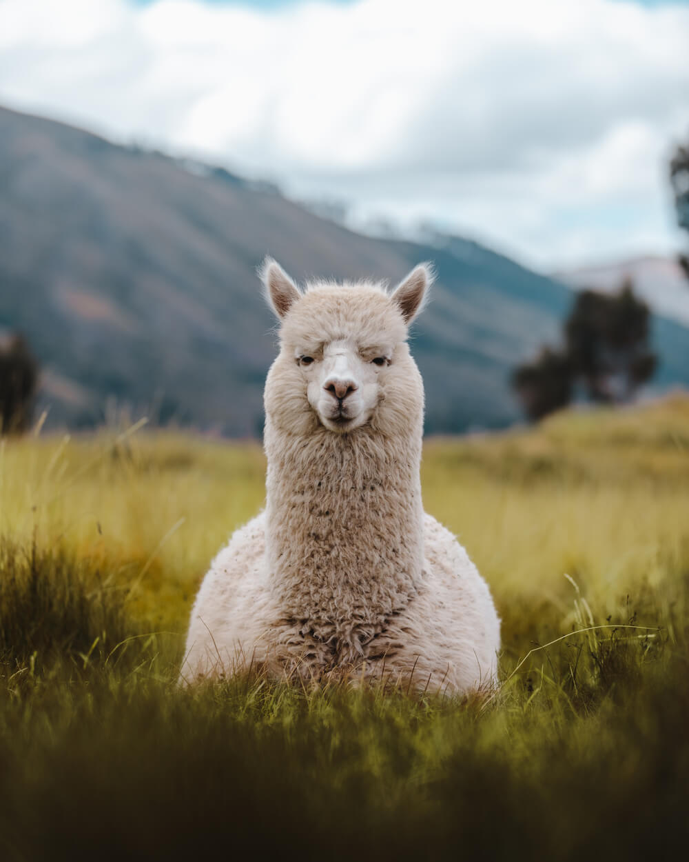 photo of a Llama in Cusco