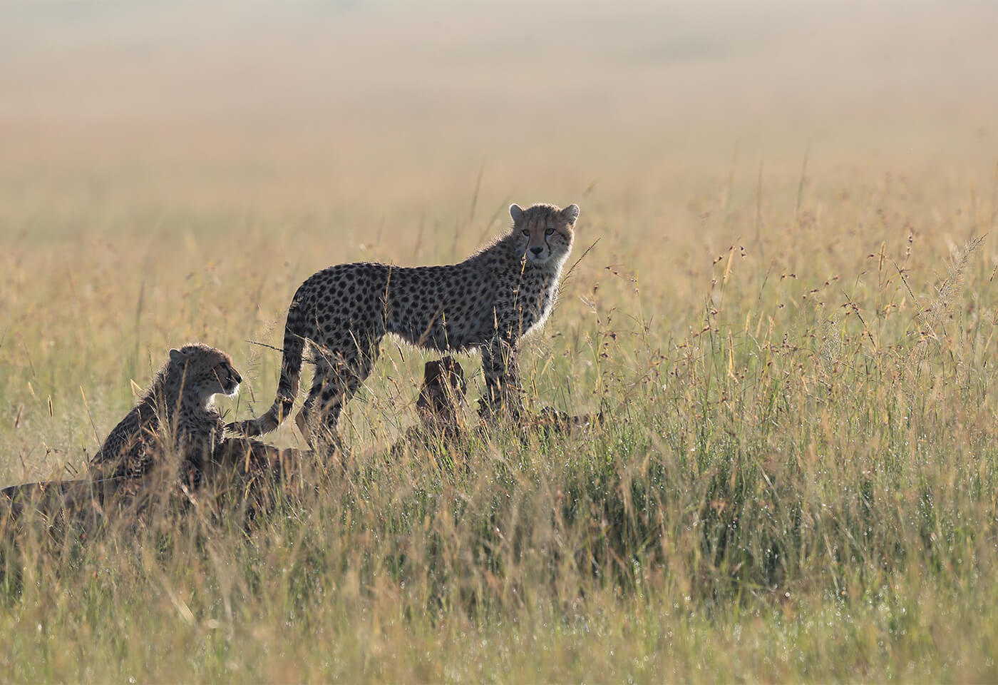 Tales by light of a cheetah in Africa